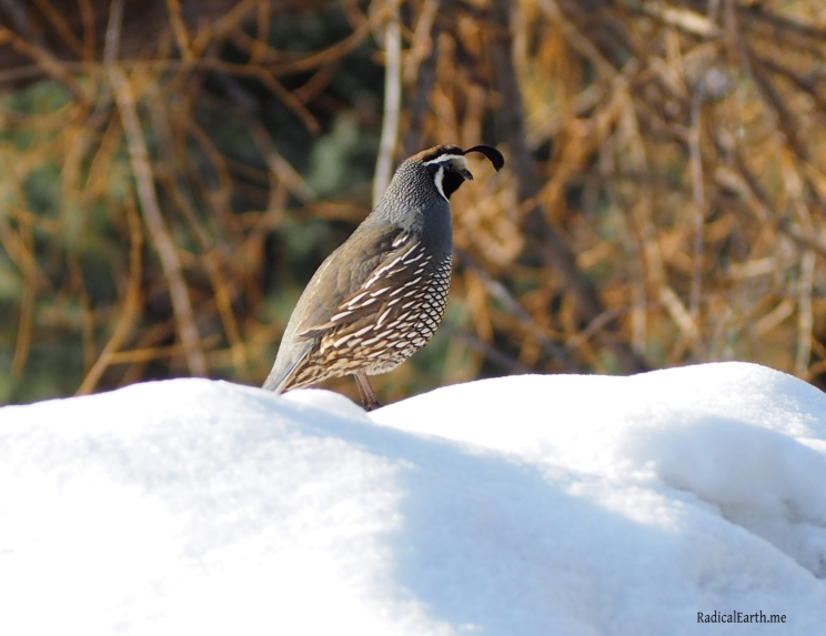 California Quail, watching over his covey McCall, Idaho U.S.A.