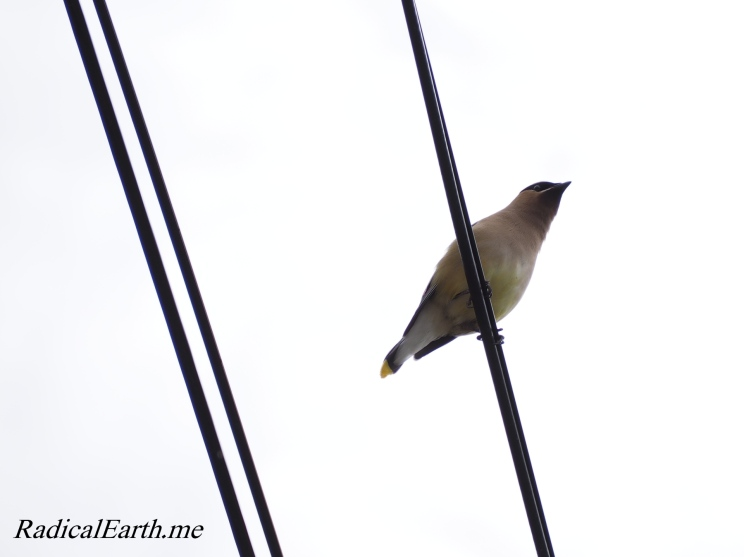Cedar Waxwing watches from the power lineMcCall, Idaho U.S.A.