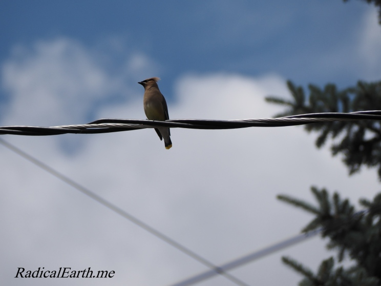 Cedar Waxwing with wires and spruce McCall, Idaho U.S.A.