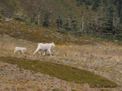 A Nannie mountain goat, and her kid, on the move