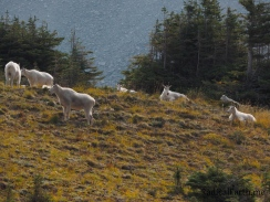 Mountain goat herd in Mount Rainiers Berkeley Park area
