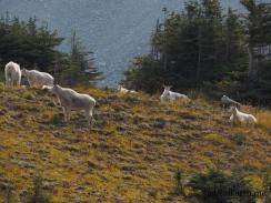Mountain goat herd in Mount Rainiers Berkeley Park area
