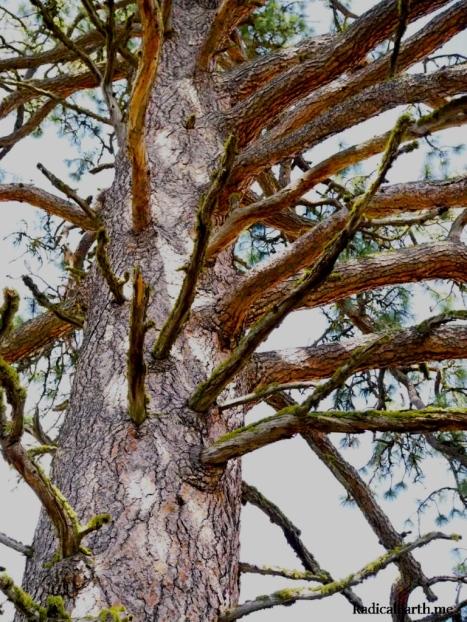 Gnarly ancient Ponderosa pine high on the ridge.