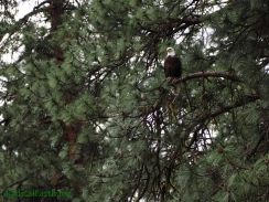 Bald eagle standing watch on the banks of the Salmon river, greets me as I get closer to the trail-head