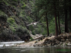 Bald eagle takes flight over the Salmon river, Idaho, U.S.A.