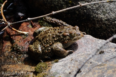 A Western Toad on the Wind River