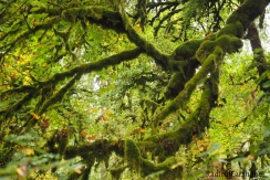Maple Tree ~ Silver Falls State Park, oregon, U.S.A.