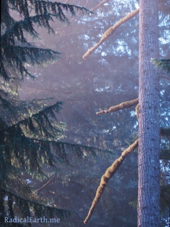 Morning Light On A MOssy Branched Douglas Fir ~ Silver Falls State Park, Oregon, U.S.A.