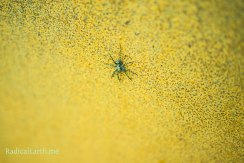 Spider pauses